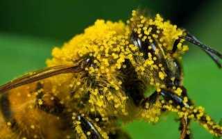 Тайны пчелиной пыльцы: цветочный дар на нашей кухне