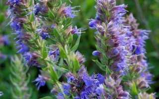 Лечебные свойства растения иссоп и противопоказания к применению