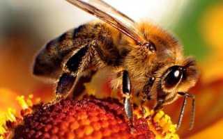 Большая польза и незначительный вред от пчелиного подмора