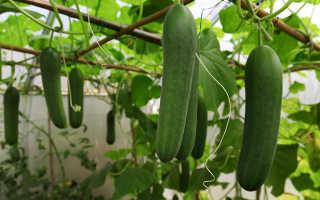 Польза и вред популярного овоща огурца