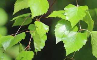 Листья березы – лечебные свойства