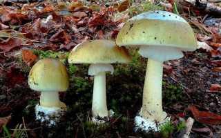 Ядовитые грибы: 5 самых опасных видов
