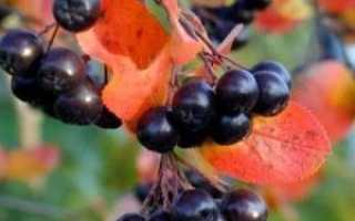 Польза для организма и противопоказания к применению черноплодной рябины