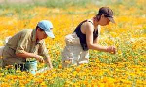 Сбор трав лекарственного сырья