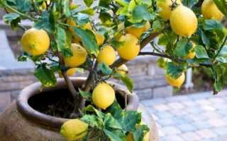 Как в домашних условиях вырастить лимон из косточки