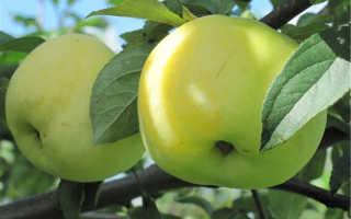 Антоновка – вкусный и полезный сорт яблок