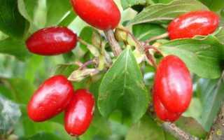 Полезные свойства ягод кизила